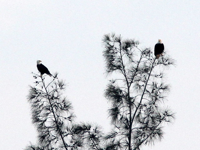 Distant Bald Eagles 20110412