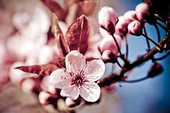 Pink & Blue #1 ( kerstin-horn.de) Tags: pink blue tree cherry blossom makro baum blten kirsche japanesecherry japanischekirsche