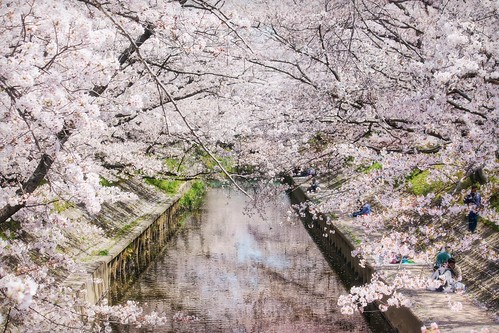 The Iga River, completely covered and surrounded by hundreds of sakura (cherry blossoms). Amazing and beautiful.