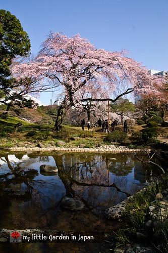 Sakura-in-Tokyo-6