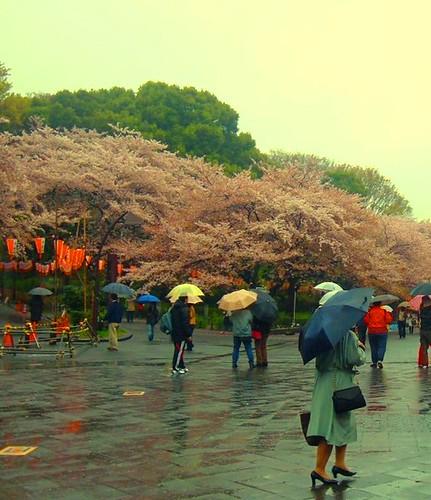 Sakura @ Ueno