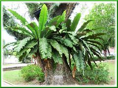 Asplendium Nidus (Bird's Nest Fern, Crow's Nest Fern), growing as epiphytes on tree trunk