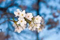 White Cherry Blossoms And Blue Bokeh (aeschylus18917) Tags: flowers flower macro nature japan season tokyo spring nikon seasons blossom bokeh g ephemera micro bloom  impermanence  sakura cherryblossoms  fading nikkor  temporary f28 ephemeral evanescence nerima vr evanescent transience transient  105mm  nerimaku impermanent 105mmf28 ephemerality   105mmf28gvrmicro d700 nikkor105mmf28gvrmicro  nikond700 danielruyle aeschylus18917 danruyle druyle temporariness