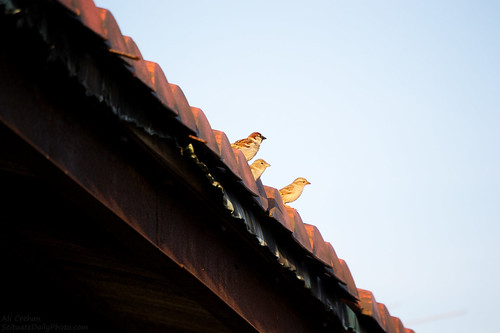Sparrows atop the old train canopy