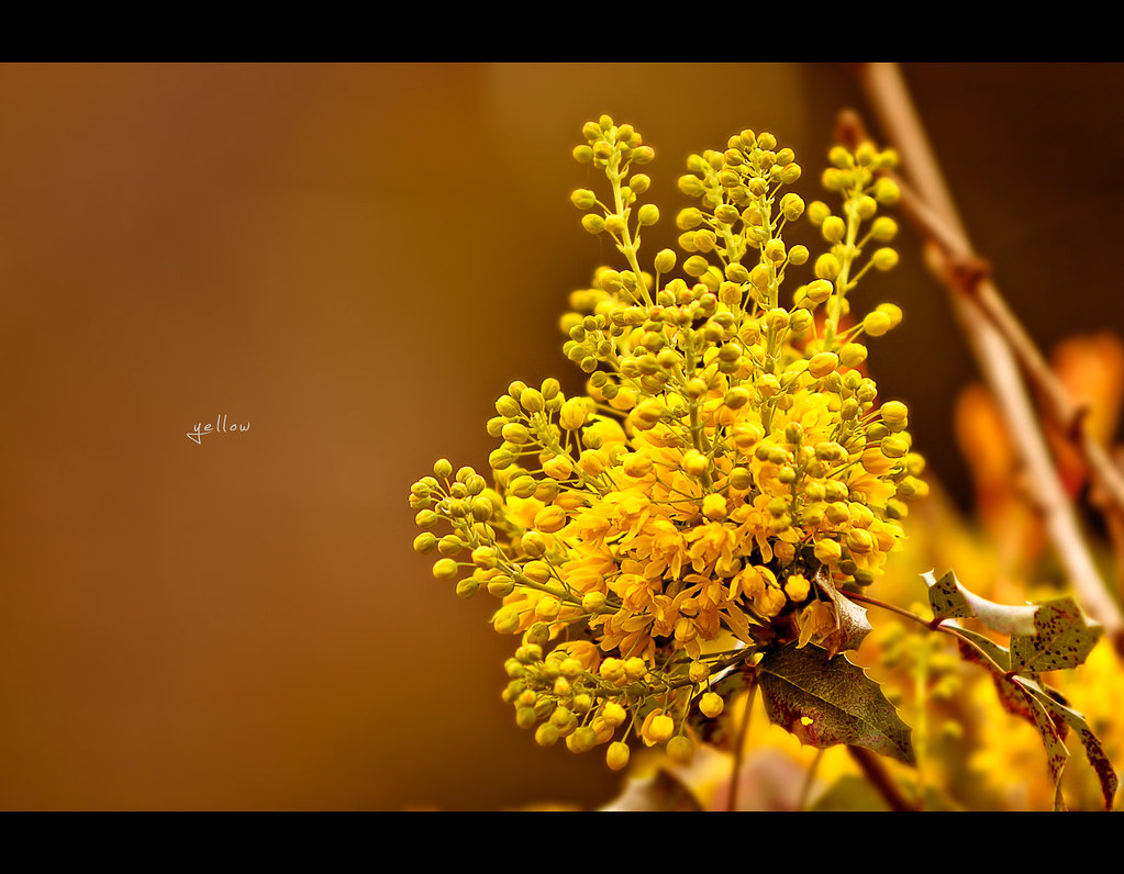 Project 365, Day 253, 253/365, bokeh, flower, yellow, close up, warm, canon ef 70-200 f2.8 is,