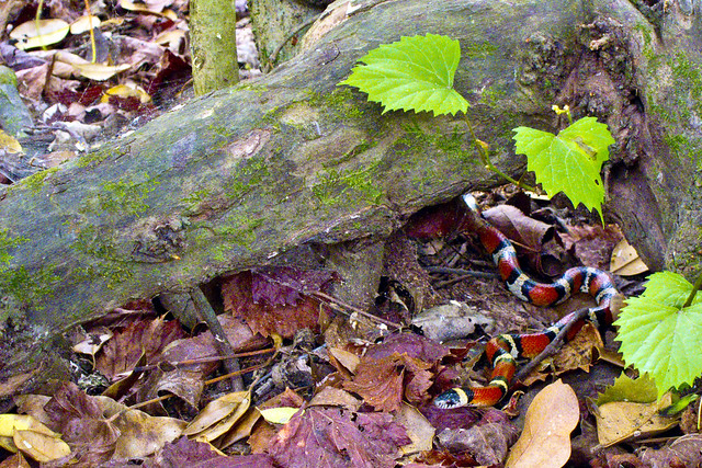 big thicket scarlet king snake