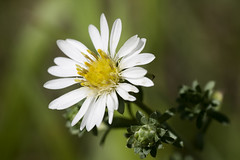 Creeping white prairie aster (smir_001) Tags: park flowers wild summer plants white canada flower macro calgary yellow closeup composite august alberta wildflowers prairie wildflower asteraceae parkdale creeping aster compositefamily falcatus