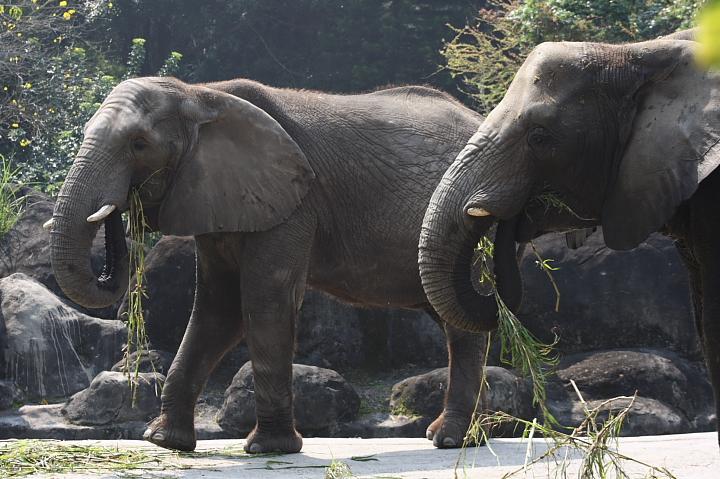 木柵動物園(大象)004