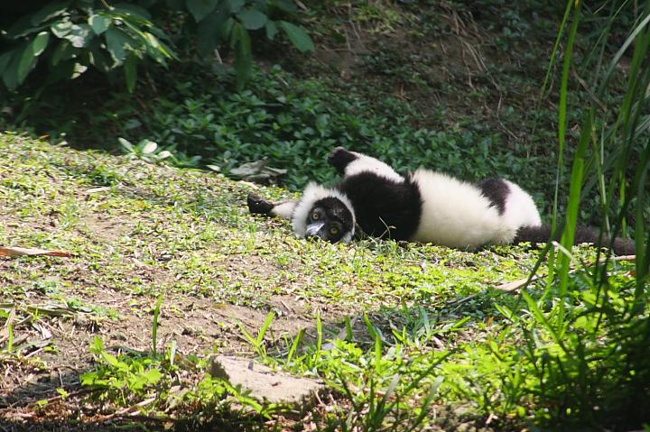 木柵動物園(白頸狐猴)029