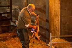 Lambing Live @ Cannon Hall Farm (tricky (rick harrison)) Tags: life uk sheep unitedkingdom farm birth lambs westyorkshire barnsley lambing cannonhall ewes givingbirth cannonhallfarm lambinglive