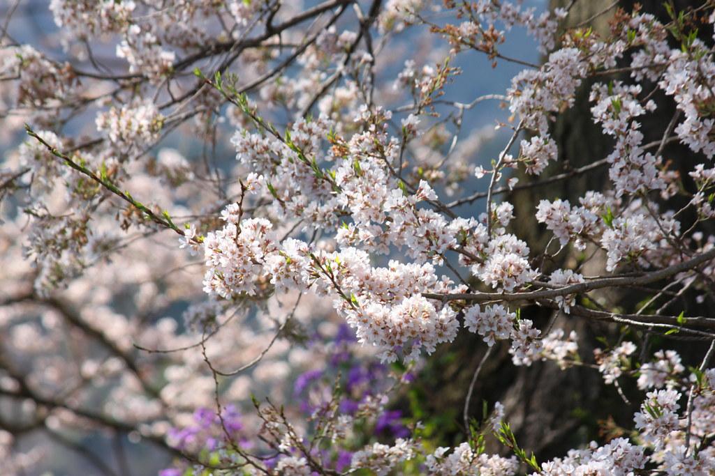 Sakura Photo 2011Wanizuka cherry blossom (9)