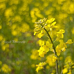 Yellow bokeh (Margall photography) Tags: flower field yellow photography bokeh 28mm mount m42 marco f28 soligor galletto margall
