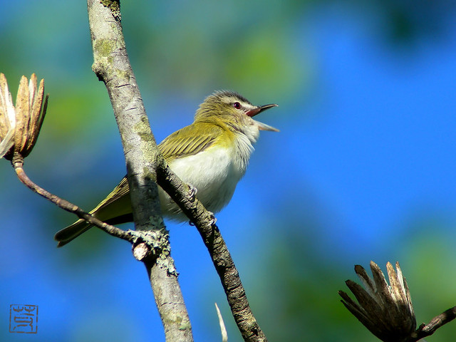 Red-eyed Vireo, Apr. 2011
