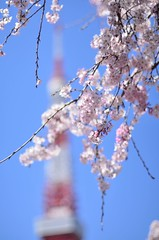 Tokyo Tower and cherry blossoms.