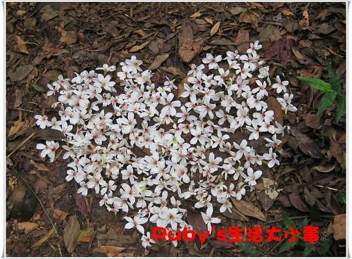 2010年油桐花 (4)