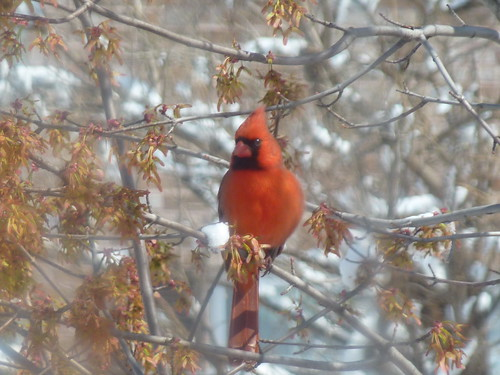 Cardinal - Project 365 Day 86 by Ladewig