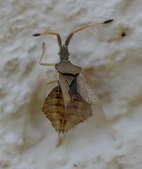 Syromastus rhombeus (Coreidae) (iainrmacaulay) Tags: france coreidae rhombeus syromastus