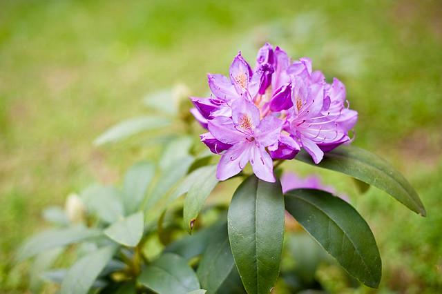 PurpleRhododendron