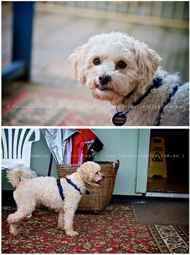 Hopeful Mozart poodle cross maltese dog photography by twoguineapigs Pet Photography