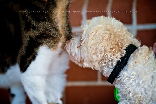 Greetings Mozart poodle cross maltese dog photography by twoguineapigs Pet Photography