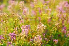 野の花 (*suika *) Tags: light colours 光 色 野の花 ムラサキケマン 日本の野 wildflowerinjapan