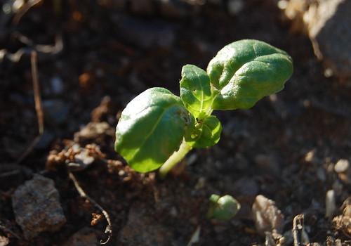 basil_seedling