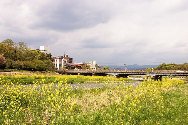 Field Mustard and Demachiyanagi Bridge
