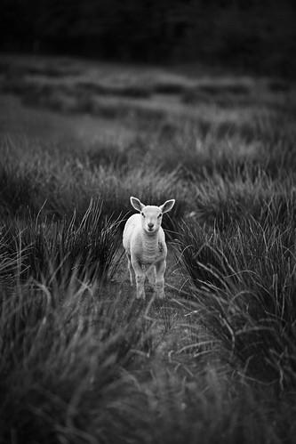 [フリー画像] 動物, 哺乳類, 羊・ヒツジ, モノクロ写真, 201105051100