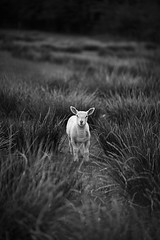 [Free Image] Animals, Mammalia, Sheep, Black and White, 201105051100