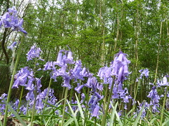 """Bluebells • <a style=""""font-size:0.8em;"""" href=""""http://www.flickr.com/photos/61957374@N08/5679130907/"""" target=""""_blank"""">View on Flickr</a>"""