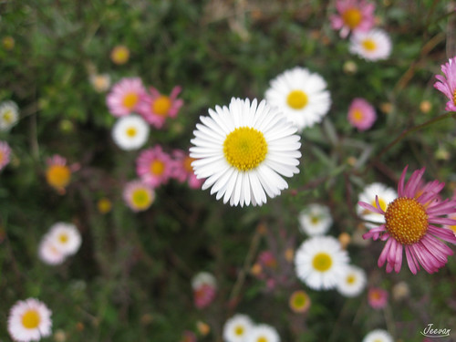 Bliss - wild bellis