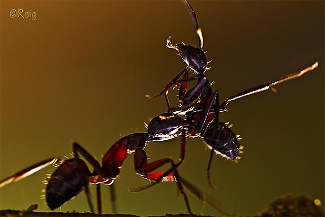 Lluita de formiges-Lucha de hormigas.