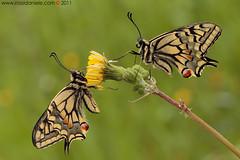 insieme... (Papilio Machaon) (daniele.rossi) Tags: macro love nature closeup canon butterfly insect meg natura toscana insieme amore farfalla insetto amanti papiliomachaon macaone supershot sigma180 lepidottero eos7d