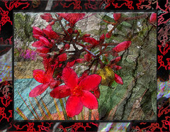 Spirit of the Red flower (Give compassion to yourself) Tags: red flower tree art texture nature fleur photoshop rouge creation bark frame passion cadre southflorida arbuste