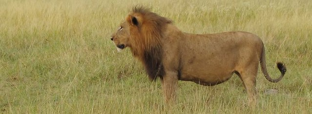 Lion in veld 680x250