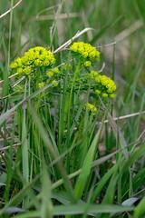 Weed Flower DSC_3494