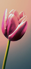 Flower (RosieAndJack) Tags: pink flower art beautiful contrast bristol photography petals stem tulip nujabes