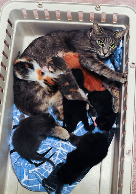 cute rescue cat mama caring for 7 baby kittens