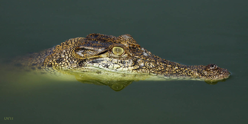Salt Water Crocodile Juvenile