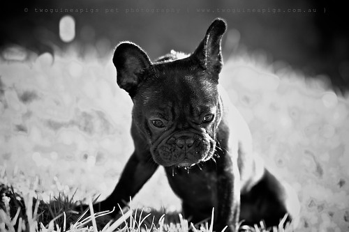 Tiny Rosie the French Bulldog, pet portraiture by twoguineapigs Pet Photography, sydney dog photographer