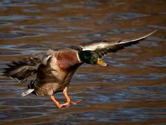 20110522_7166_1D3-400 Mallard in for a landing (or is it a watering?) (johnstewartnz) Tags: male canon duck mallard bif birdinflight 100canon apsh unlimitedphotos