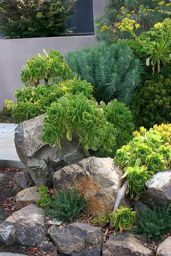 rocks and aeoniums