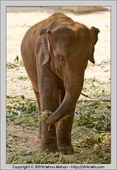 Indian Elephant at Mysore  Zoo (drkrishi) Tags: india elephant zoo asia karnataka mysore mammalia elephasmaximus indianelephant chordata proboscidea elephantidae elephas mysorezoo elephasmaximusindicus srichamarajendrazoologicalgardens drkrishi drkrishicom