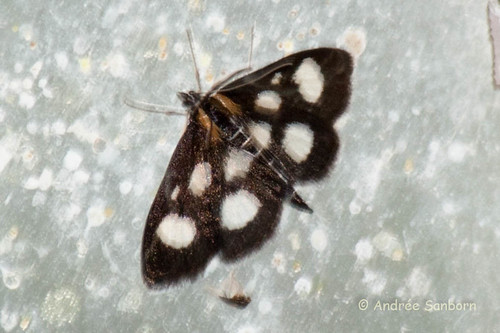 White-spotted Sable Moth (Anania funebris glomeralis)-1.jpg