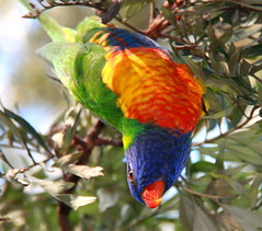 Rainbow Lorikeet [explored] (CarlosSilvestre62) Tags: sydney australia explore rainbowlorikeet explored carlossilvestre62 carlossilvestre62explored