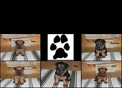 Dunham Lake Australian terrier puppies collage 4 weeks old 06-15-11