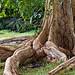 Le jardin des Pamplemousses, arbre