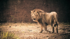 Its my Jungle (R E B E L ) Tags: leo mark indian  lion explore ii 5d asiatic panthera asiaticlion persica skfotography sandeepmv 121clicks 08884922253
