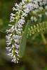 Praying mantis on Koromiko flower (debshilton) Tags: newzealand white flower green mantis native prayingmantis koromiko nativenewzealand koromikoflower whitekoromiko