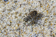 Tiger Beetle (brucetopher) Tags: tigerbeetle tiger beetle cicindela beach beachtigerbeetle insect bug critter creature tiny beauty beautiful pattern elytra maculations shell camouflage fast tease frustrating elusive animal outdoor macro